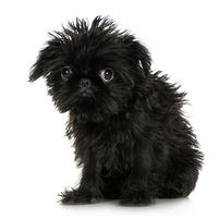 dog-picture-photo-brussels-griffon-puppy